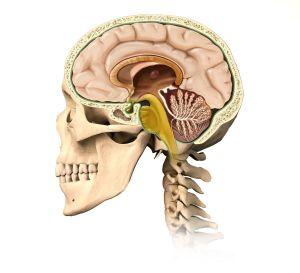 Very detailed and scientifically correct human skullcutaway, with all brain details, mid-sagittal side view, on white background. Anatomy image.
