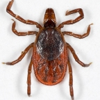 Why Ticks are Surviving Winter More